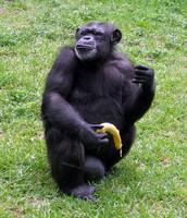 what chimpanzees eat.