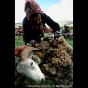 Inca Sheep Shearing
