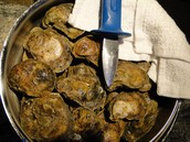 We have Oysters!!
