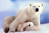 What do polar bears eat?