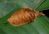 It's a caterpillar of a Megalopygidae moth.