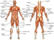 Define Muscular System
