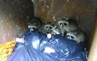 Raccoons living in a basement