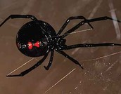 Appearance Of Black Widow