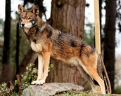 Characteristic. About wolves