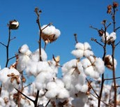 Disadvantages of Genetically Modified Cotton