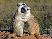 These two Meerkats are breeding.