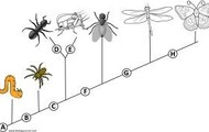 An insect cladogram