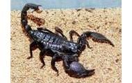 Scarlet scorpion