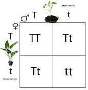 Punnett Square Genotype/Phenotype