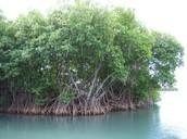 Mangroves: Rhizophoraceae