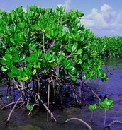 Mangroves Plants