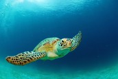 Sea Turtles are very common in the Pamlico Sound
