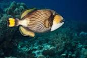 Titan Triggerfish & Smaller fish