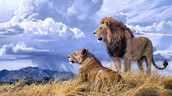 How do lions adapt to survive?