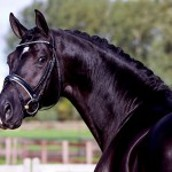Black-Dutch- Warmblood