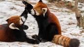 Red Panda Play!