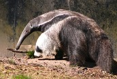 https://en.wikipedia.org/wiki/Giant_anteater