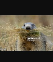 The groundhog eats the grass and gets energy from it