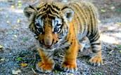 An adorable tiger
