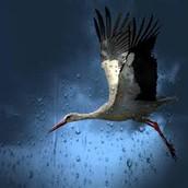 white stork fying