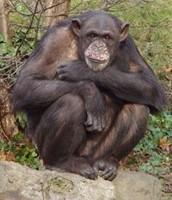 A full grown Chimpanzee