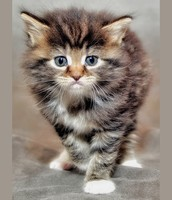 Baby Striped Maine Coon Kitten