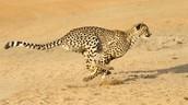 Cheetah Speed
