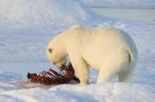 What Polar Bears Eat