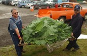 Giant vegetables are grown in Alaska due to the growing season