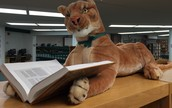 Have you met the library mascot cougars?