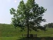 This is Indiana's state tree