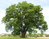 producer/ green oak tree