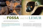 Food for a Fossa