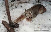 Lynx In Leg Trap