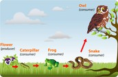 Food Chain in the Florida Everglades