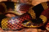 Guatemala neckband snake