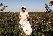 A child in the cotton field