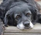 Dogs: Older