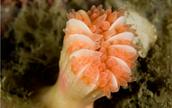 Cockscomb Cup Coral
