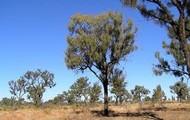 Desert Oak Tree