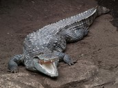 Three facts about crocodiles