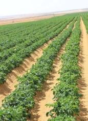 Egypts crops