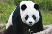 Compare: red panda - panda