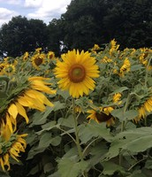 Lovely sunflowers in Connecticut