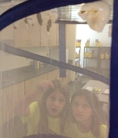Observing our butterflies in their chrysalis