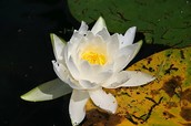 Water Lily (Nymphaeaceae)