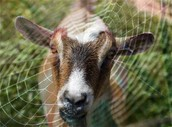 Web-Spinning Goats