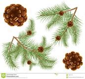Pinus sylvestris, pine, pino, pinua, πίτυς