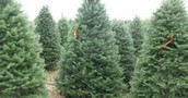 Even more Christmas Trees